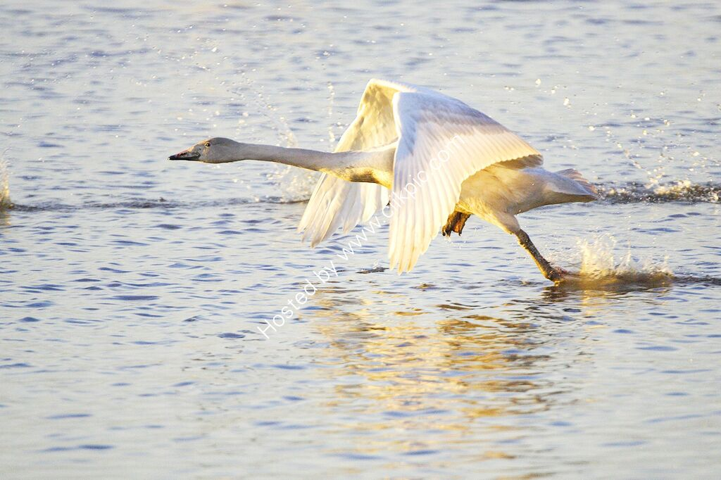 Whooper Swan, juvenile taking off in the evening.
