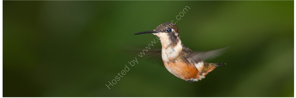 Nature in action: Woodstar hummingbird