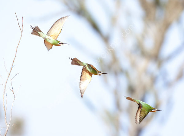 Nature in Action: Madagascar Bee-eater