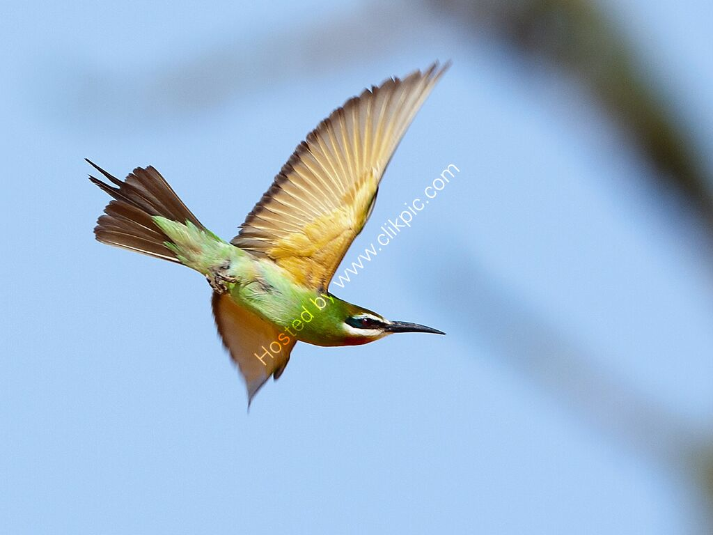 Madagascar Bee-eater in flight