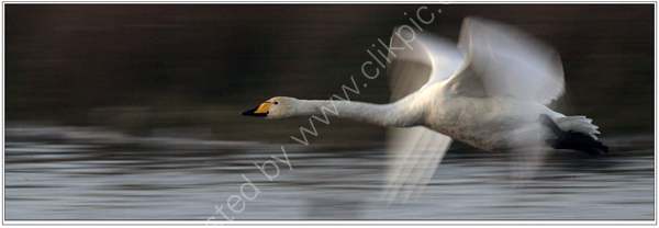 Nature in Action: Swan in flight, panned. Limited Edition Giclée print.