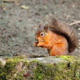 14.Snack time for the rare red squirel.Costa Club Nerja