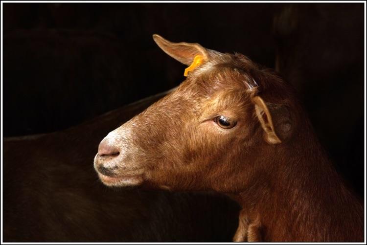 18.At the goat farm.Shutterbugs