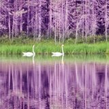 20.Wild Swans.CPS