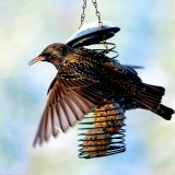 27 Hungry .Starling feeding.CPS