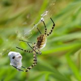 38.Spider with Prey.CPS