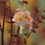 43.Harvest Mouse.Lake Vinuela