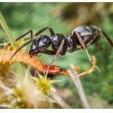 6.Ant struggling with centipede.Costa Club Nerja.pg