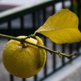 Eleanor Smith.4.lemon with rain