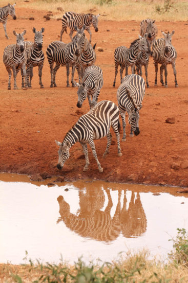 Zebra at a waterhole