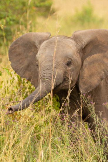 Baby Elephant being nosy