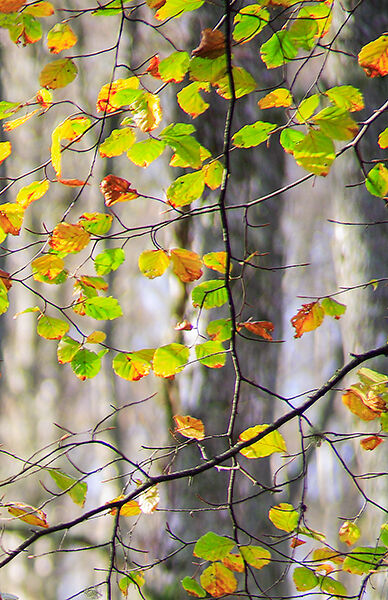Autumnal Woodland 4