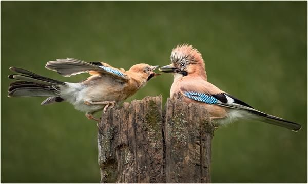 Jay Feeding Juvenile