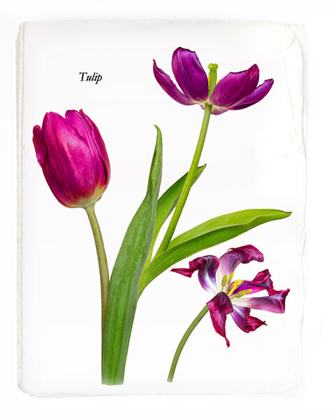 Tulip Page