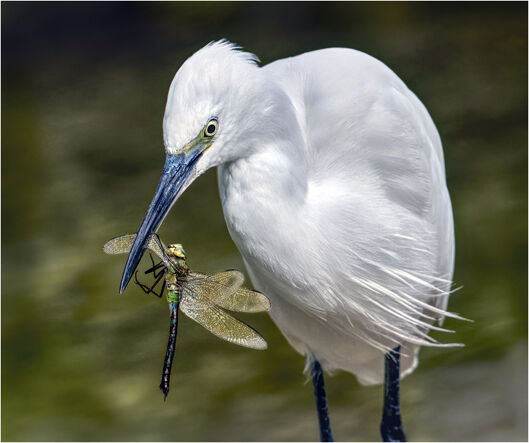 11 Egret with Dragonfly - 18 points