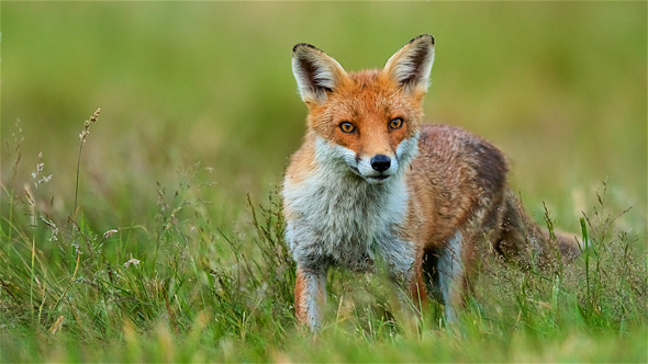 15 Juvenile fox on the prowl - 19 points