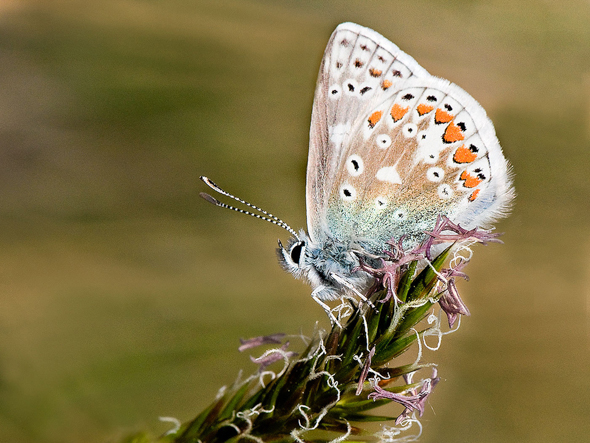 21 Common Blue Butterfly - 18 points