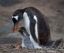 22 Gentoo with chicks - 17 points