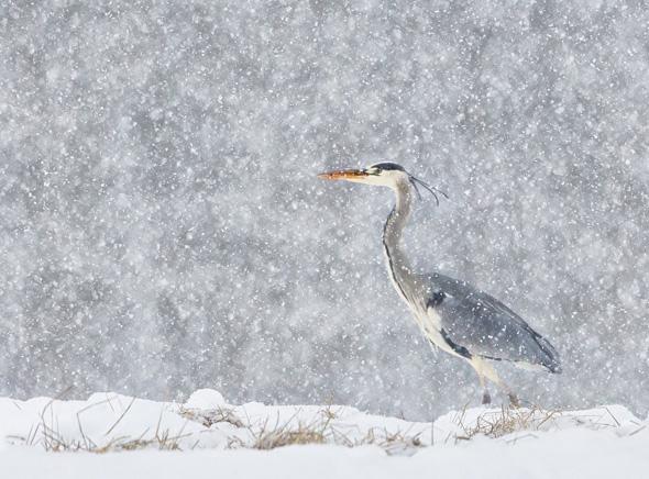 27 Heron In Winter Snowfall - 20 points