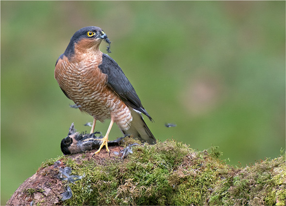 2 Sparrowhawk with Prey - 20 points