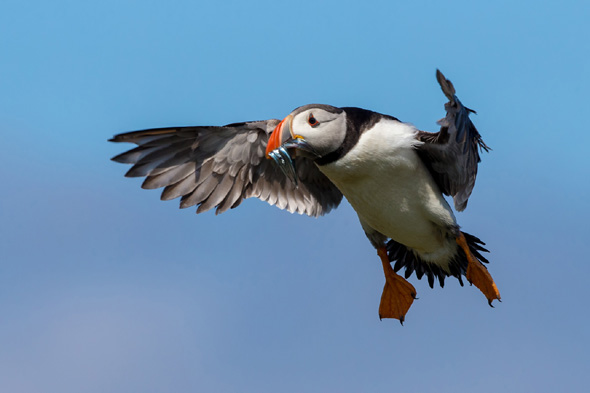 38 Puffin - 17 points