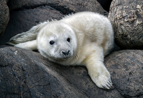 39 Wild Grey Seal Pup - 17 points