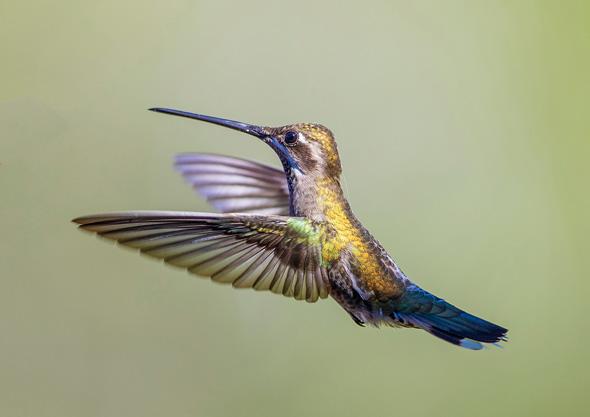 3 Female Ruby Throated Hummingbird - 15 points