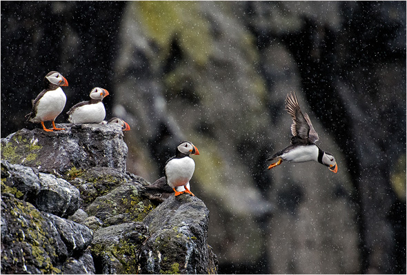 3 Puffins in the rain - 19 points