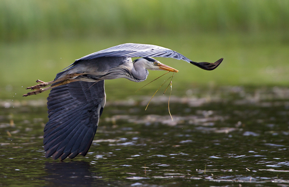 46 Heron with nest material