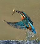 48 Kingfisher ascending - 19 points