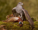 57 Goshawk mantling - 20 points and Top Image