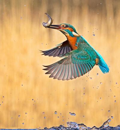 57 Kingfisher