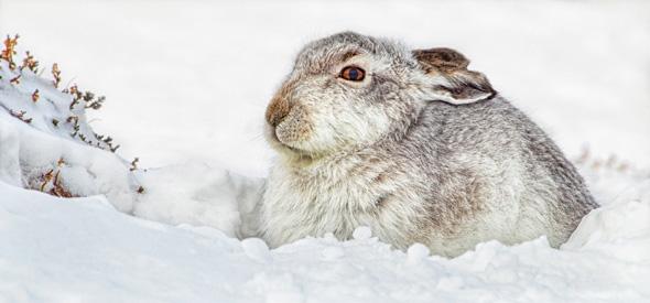 62 White Mountain Hare - 17 points