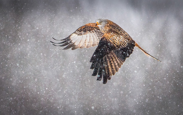 63 Red Kite in the snow - 19 points