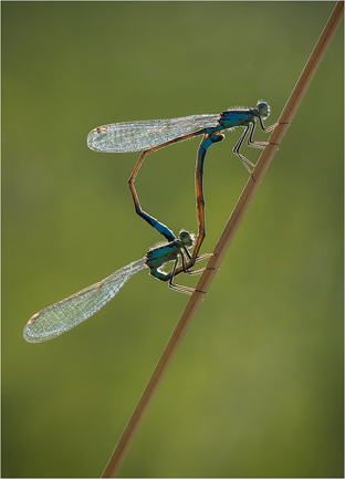 68 Mating Damsels - 18 points