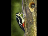 Woodpecker feeding chick