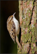 69 Tree Creeper - 17 points