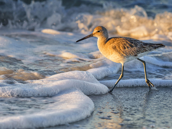 74 Willet in the Waves - 20 points