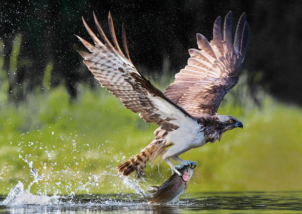 75 Osprey with Trout - 19 points