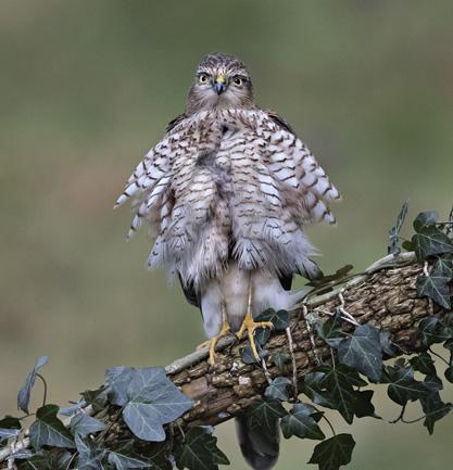 79 Juvenile Sparrowhawk - 20 points