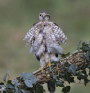 79 Juvenile Sparrowhawk - 20 points