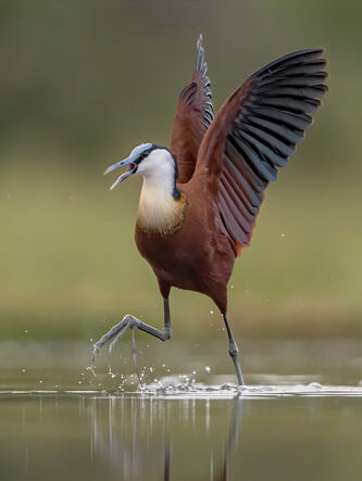 82 Jacana on the move - 19 points