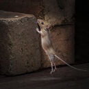 85 Woodmouse - 18 points