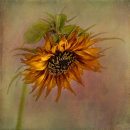 86 Sunflower Portrait - 19 points