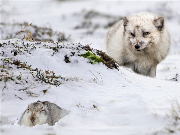 87 Arctic fox with mountain hare - 18 points