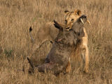 Lioness with Warthog - Nature Section - Bronze