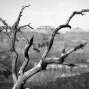 Bleached dead tree, Grand Canyon
