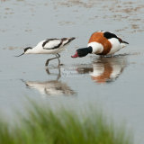 Avocet and Shelduck Norfolk