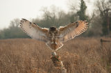Eagle Owl Gloucestershire