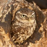 Little Owl Gloucestershire